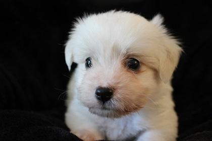 hvid stor fluffy hund
